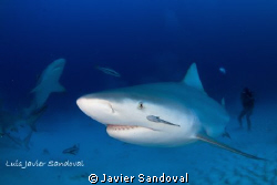 Bull sharks in Playa del Carmen by Javier Sandoval 